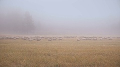 Flock Of White Sheep Running In The Mist On Yellow Grass In Siberian Early Stock Footage