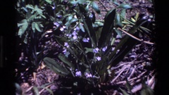1980: zoom in on a green plant with big leaves and purple flowers with yellow Stock Footage
