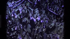1980: wilting violet flowers in a garden BIG SUR CALIFORNIA Stock Footage