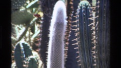 1980: several variety of cactuses BIG SUR CALIFORNIA Stock Footage