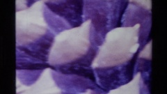 1980: a close up of a pine cone BIG SUR CALIFORNIA Stock Footage