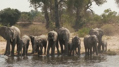 African elephant (Loxodonta africana) family together drinking in one line at Stock Footage