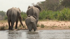 African elephant (Loxodonta africana) family together drinking in a lake Stock Footage