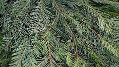 Fir-tree branch Christmas tree Stock Footage