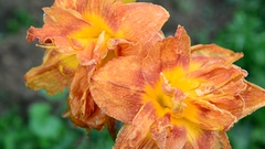 Flowers of terry orange big daylily Stock Footage