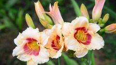 Beautiful bright yellow varietal daylily Stock Footage