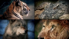 Dangerous Animals Montage - Lion, Crocodile, Tiger, Wolf Stock Footage