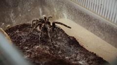 Tarantula spider, hairy spider Stock Footage