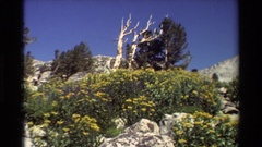 1981: beautiful yellow color flowers on the bushy plants waved by wind on a Stock Footage