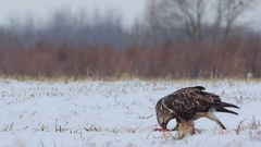 Rough-legged buzzard. Winter. Stock Footage