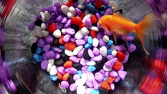 Goldfish in a beautiful round goldfish bowl with colored stones Arkistovideo
