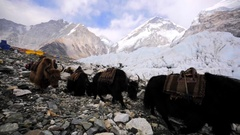 View of dzoes (hybrids between yak and domestic cattle) in Everest base camp Stock Footage