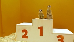 Two funny meercats sharing first place at victory podium. Leader, victory Stock Footage