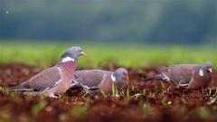 Common Wood Pigeons. Feeding. Stock Footage