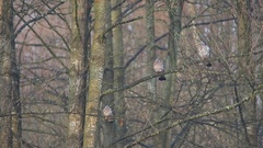 Common Wood Pigeons. Flock takes off from the tree. Stock Footage