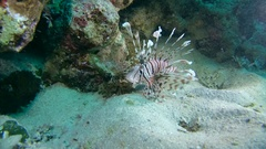 Red lionfish (Pterois volitans) is above the sand near the coral reef Stock Footage