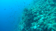 A large school of fish Sea goldie (Pseudanthias squamipinnis) near the reef   Stock Footage