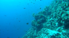 A large flock of colorful fish Sea goldie (Pseudanthias squamipinnis)   Stock Footage