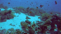 A school of brightly colored fish Sea goldie (Pseudanthias squamipinnis) Stock Footage