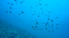 A large flock of Schooling Bannerfish (Heniochus diphreutes)   Stock Footage
