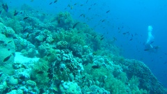 Scuba diver swims near coral reef in a school of fish, Red sea, Sharm El Sheikh, Stock Footage