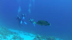 Young Napoleonfish or Maori wrasse (Cheilinus undulatus) floats for a group of Stock Footage
