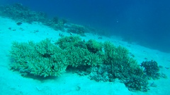 Blue-green Chromis school of fish (Chromis viridis) emerges from the coral and Stock Footage