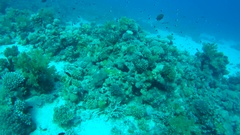 School of coral fish swimming over coral, Red sea, Sharm El Sheikh, Sinai Stock Footage