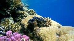 Snorkeling - man dives close to the reef and look at the maxima clam or small Stock Footage