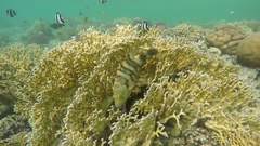 Broomtail Wrasse (Cheilinus lunulatus) in Red Sea Stock Footage