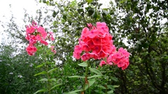 Beautiful coral varietal phlox flower Stock Footage
