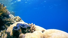 Snorkeling - young woman dives to coral reef and considers maxima clam  Stock Footage