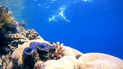 Snorkeling - young woman dives to coral reef and rassmatrivaetmaxima clam   Stock Footage
