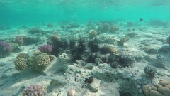 Sea urchin under water among corals in Red Sea Stock Footage