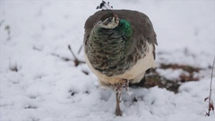 Peacock winter in the snow Stock Footage