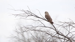 Short-eared owl. Stock Footage