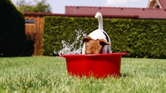 Jack Russell Terrier fools around digging the water out of a washbowl Stock Footage