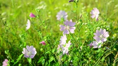 Meadow Mauve pink sways in breeze Stock Footage