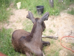 Moose in the zoo Stock Footage