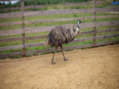 Ostrich in zoo Stock Footage
