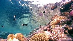 School of fish Bicolor Damselfish (Chromis dimidiata) floating on a beautiful Stock Footage