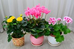 Cyclamen, rose and geranium on background of white curtains Stock Photos