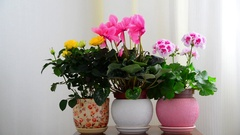 Cyclamen, rose and geranium in white interior Stock Footage