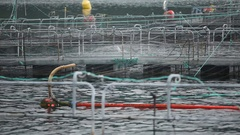 Salmon Farm. Panorama. Jumping fishes. Salmon life Stock Footage