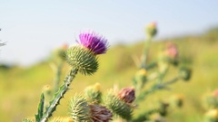 Thistle thorns (Latin Onopordum acanthium.) - Thistle species of genus of the Stock Footage
