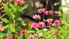 Slow motion shot of butterfly feeding nectar from field of pink flowers Stock Footage