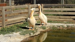 Great white Pelicans cleans feathers Stock Footage