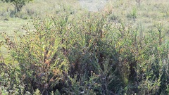Thickets of prickly Thistle on meadow in wild nature Stock Footage