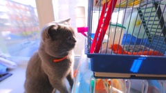 Beautiful grey british cat in collar is looking at the hamster in the cage. Stock Footage