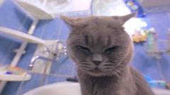 Beautiful grey british cat in collar is drinking tap water in bathroom. Stock Footage